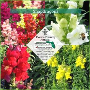 Snapdragon plants in bloom