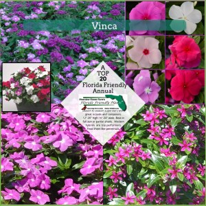 Vinca plants in bloom