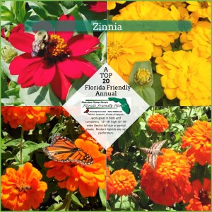 Zinnia plants in bloom