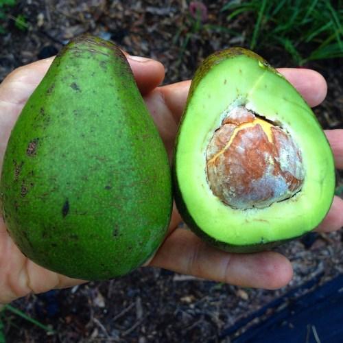 Avocado Wood Hardness
