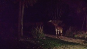A giraffe during the nighttime Kilimanjaro Safari Tour at Animal Kingdom