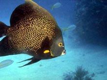 Angel Fish Snorkeling