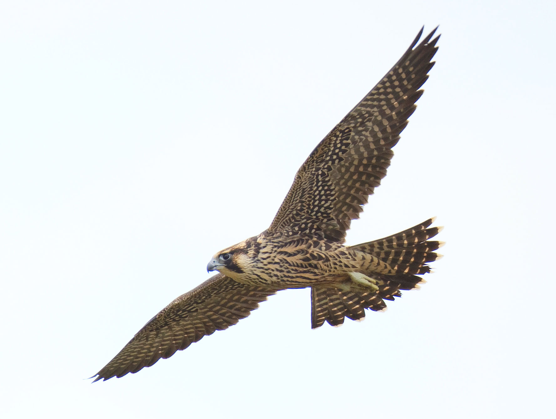 Peregrine Falcon Update October 20