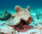 Florida Keys Rules Queen Conch
