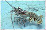 Lobstering - Spiny Crawfish - Lobster