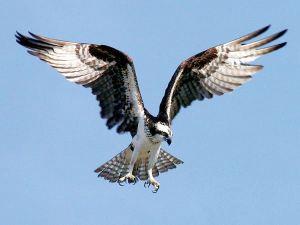 Monroe County Osprey