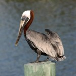 Brown Pelican Adult in Breeding Colors