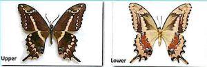 Schaus swallowtail  Heraclides aristodemus ponceanus