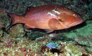 Pulley Ridge Grouper