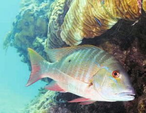 Florida Keys Fishing Mutton Snapper