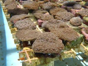 Coral Restoration