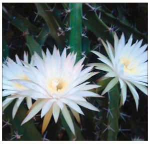 Florida Keys Cacti - Barbed-Wire Cactus