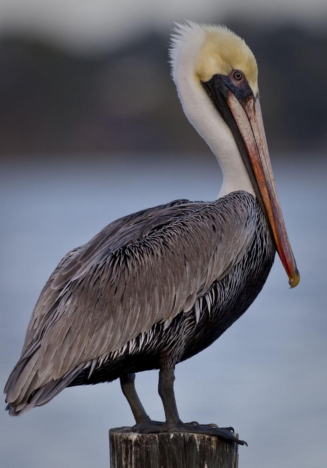 Brown Pelican Not Always Brown But Still A Spectacular