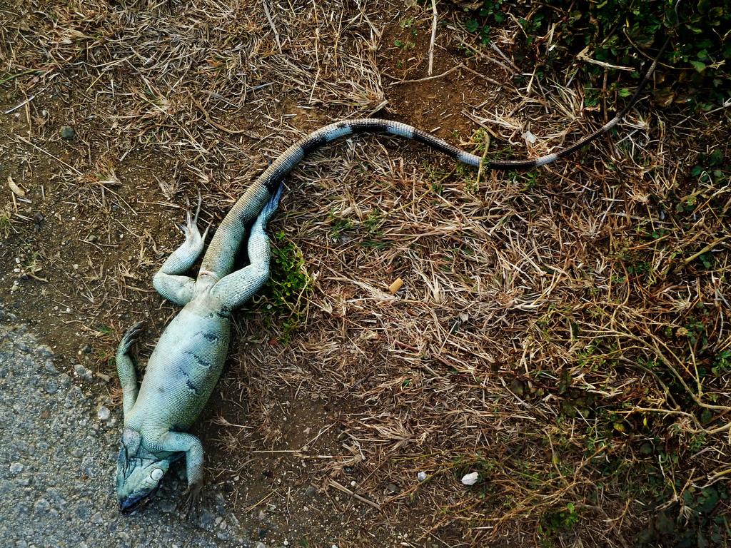 Iguana Hard to kill - Law Says Don't be Cruel