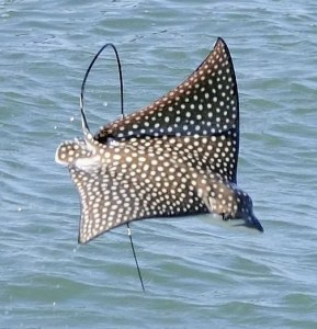 spotted eagle ray jumping