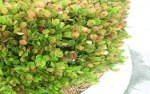 Cocoplum hedge