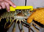 Florida Keys Rules Spiny Lobster