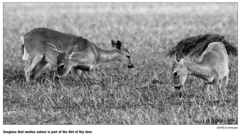 Key Deer feeding
