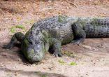 Florida Keys Rules American Crocodile