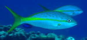 yellowtail snapper - fish pee