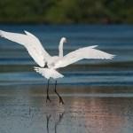 Egret in Biscayne Bay
