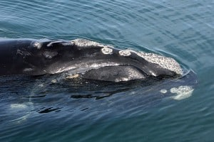 Right whale off Florida coast. (Photo courtesy Florida Fish and Wildlife Conservation Commission, taken under research permit issued by NOAA Fisheries.)