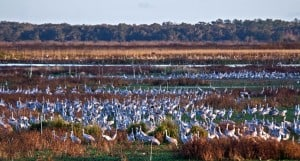 Sandhill Cranes at Paynes Prairie Preserve, 2008