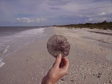 Sanddollar found on Barefoot Beach