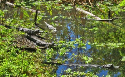 Pond full of baby gators at Corkscrew Bird Rookery Swamp Trail .