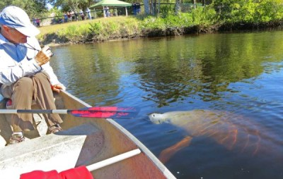 Curious manatee at Manatee Park, Fort Myers, on the Orange River, Feb. 14, 2015