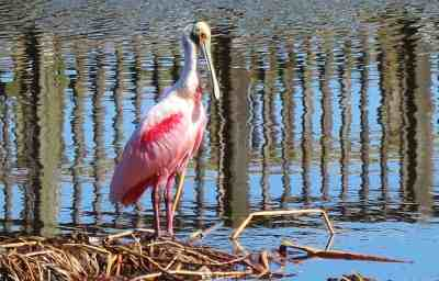 Roseate Spoonbill at Peaceful Waters Sanctuary in Wellington.