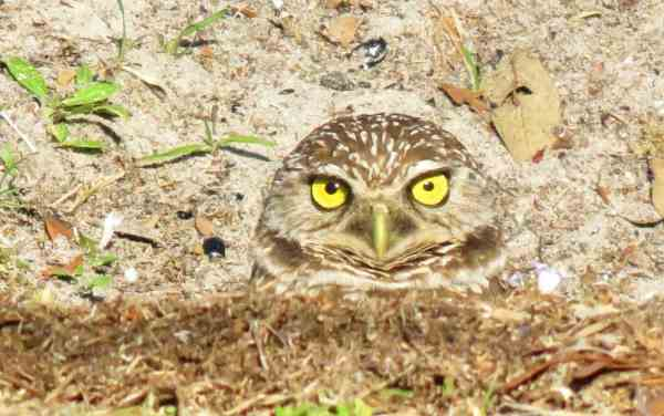 Burrowing owls at Brian Piccolo Park in Cooper City.