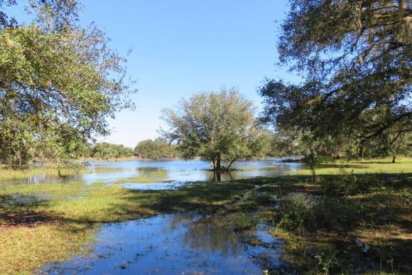 Fisheating Creek near Lake Okeechobee is over its banks. (Photo: Bonnie Gross, Feb. 6)
