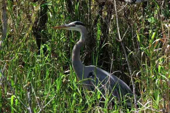 Great Blue Heron at Bicyclists ride through water at The Shark Valley section of Everglades National Park. (Photo: Bonnie Gross)