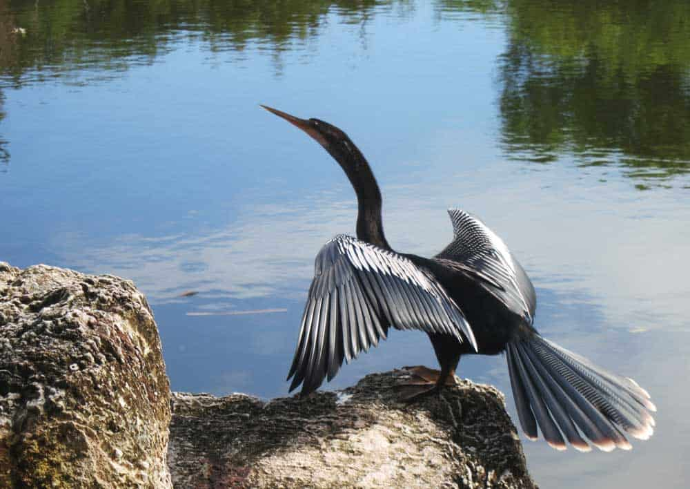 An Anhinga At The Key West Tropical Forest And Botanical Garden One Of Many Birds Attracted By Habitat