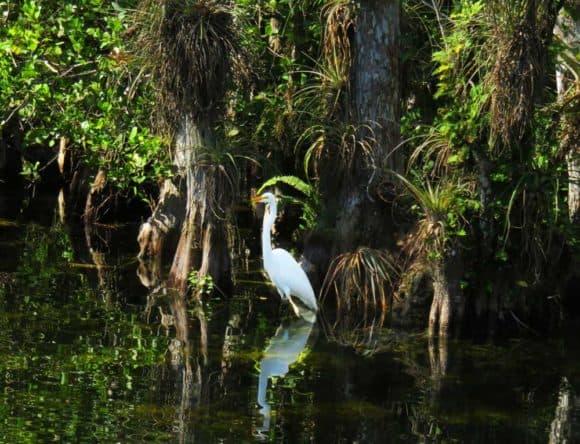 Nearby Big Cypress National Wildlife Refuge offers impressive birding and wildlife viewing. (Photo: Bonnie Gross)