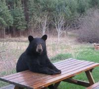 Bears are more active in fall