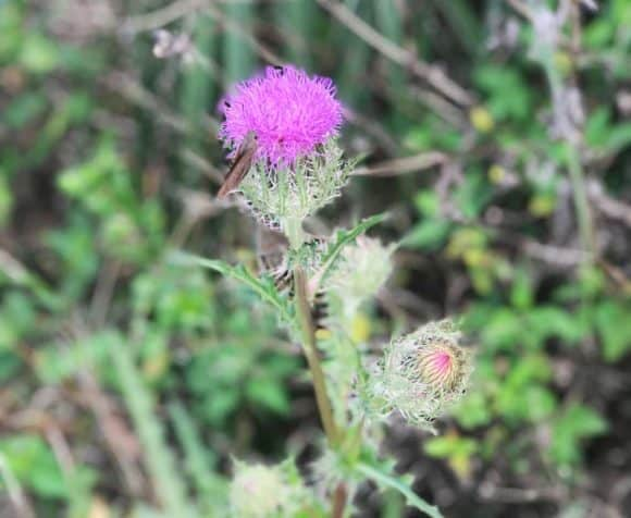 Thistle was one of many wildflowers along the Florida Trail off Alligator Alley. (Photo: Bonnie Gross)