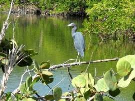 Lovers Key great blue heron