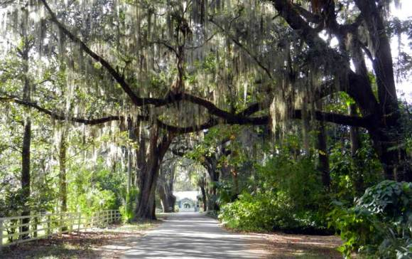 This is Old Florida: Oak trees in Micanopy.