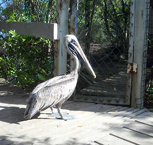 Florida Keys Wild Bird Center: Pelican