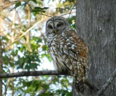 This barred owl at Arbunkle Creek swiveled his head to follow us as we paddled under his tree.