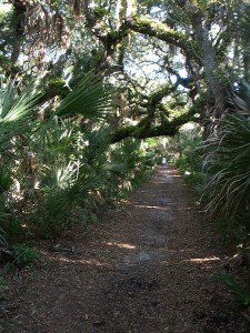 Resurrection fern on limbs of live oak on Castle Windy Trail, Canaveral National Seashore