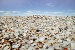 Shells at one of Florida's best beaches: Cayo Costa State Park
