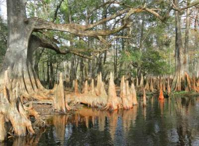 Cypress knees along Fisheating Creek near Lake Okeechobee.