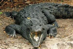 Crocodile near Flamingo in the Everglades National Park