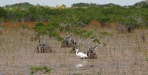 Egret in the Everglades National Park near Flamingo