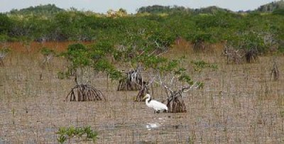 Egret in the Everglades National Park near Flamingo
