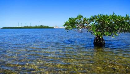 Mangroves off Virginia Key.