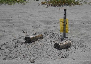 Florida beaches: Sea turtle nest at John U. Lloyd State Park, Dania Beach, Florida